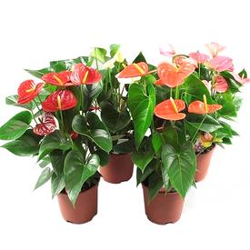 Растение горшечное Антуриум микс 12х40см в Калининграде
