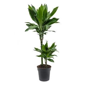 Растение горшечное Драцена Фрагранс Джанет Линд 19х100см в Калининграде