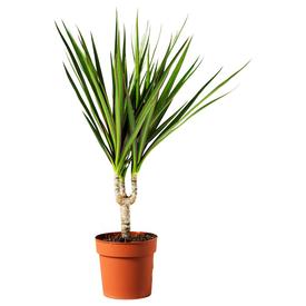 Растение горшечное Драцена маргината 12х50см в Калининграде