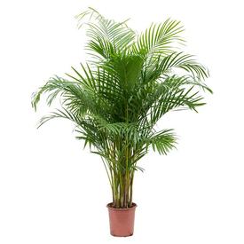 Растение горшечное Арека (дипсис) 21х110см в Калининграде