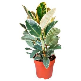 Растение горшечное Фикус эластика Тинеке 12х35см в Калининграде