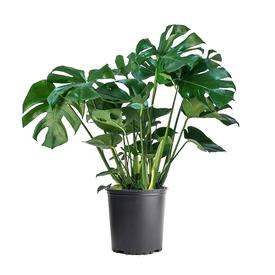 Растение горшечное Монстера деликатесная 19х60см в Калининграде