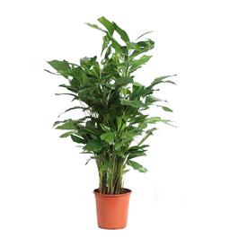 Растение горшечное Кариота пальма 21х160см в Калининграде