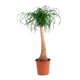 Растение горшечное Нолина 17х65см в Калининграде