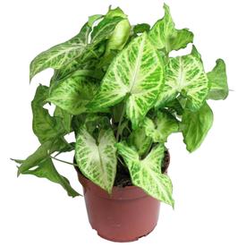 Растение горшечное Сингониум Баттерфляй 14х40см в Калининграде
