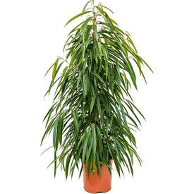 Растение горшечное Фикус бенедикта Али 17х75см в Калининграде