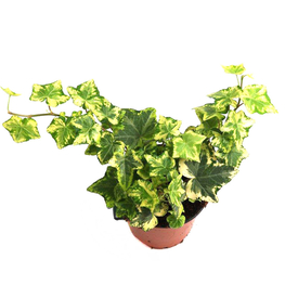 Растение горшечное Хедера хеликс Голд Чайлд 13х40см в Калининграде