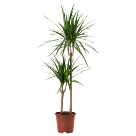 Растение горшечное Драцена Маргината 17х70см в Калининграде