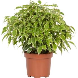 Растение горшечное Фикус Бенджамина Кинки 12х25см в Калининграде