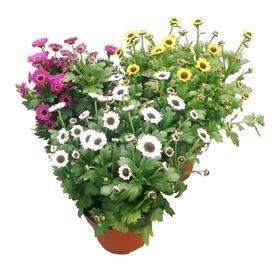 Растение горшечное Хризантема Инь и Янь микс 12х26см в Калининграде