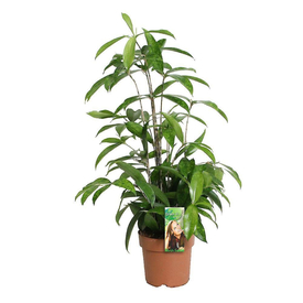 Растение горшечное Драцена Суркулоза 12х50 см в Калининграде