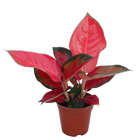 Растение горшечное Аглаонема Чайна Ред (China Red) 6х10см в Калининграде